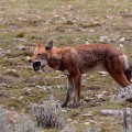 Ethiopian wolf eating