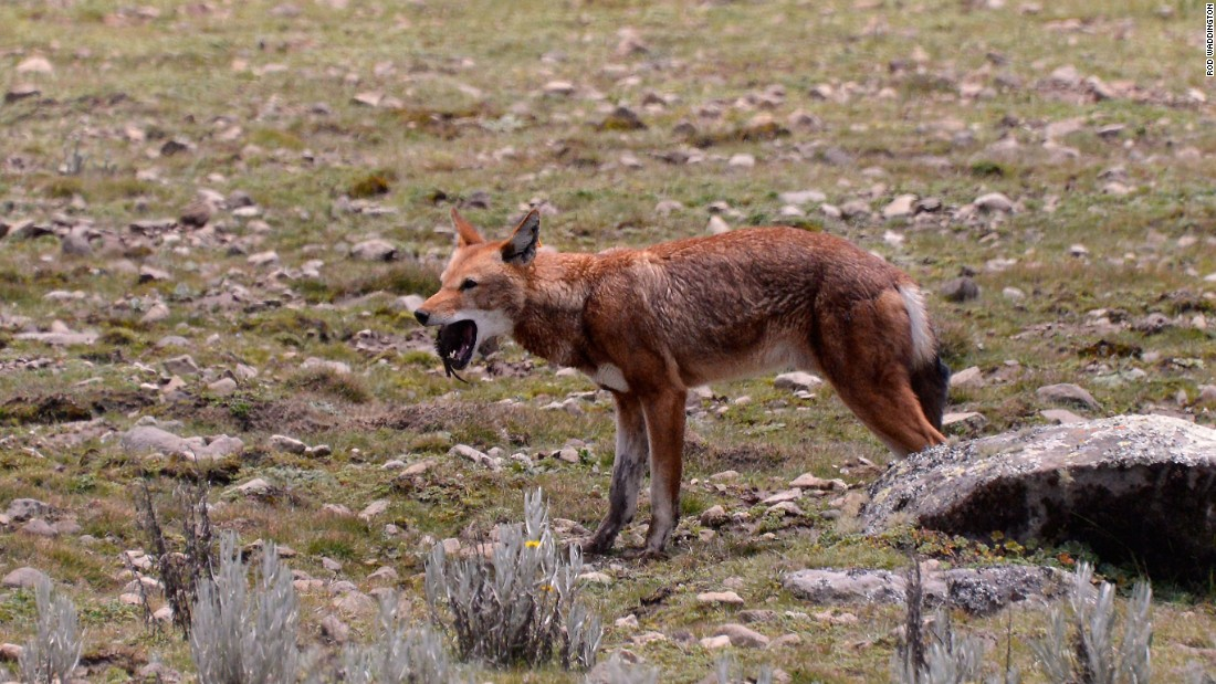 While other wolves eat sheep, the Ethiopian wolf is unique in that it feeds on rats.
