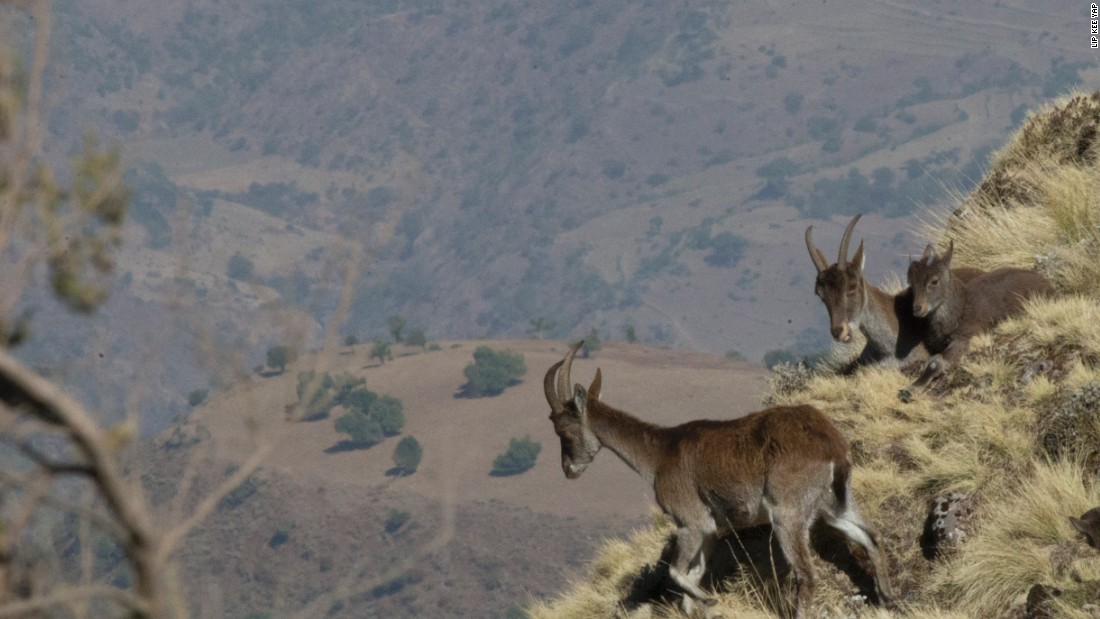 Endemic to the Simien Mountain National Park, the walia ibex population is six times larger than it was 20 years ago thanks to the expansion of the park.