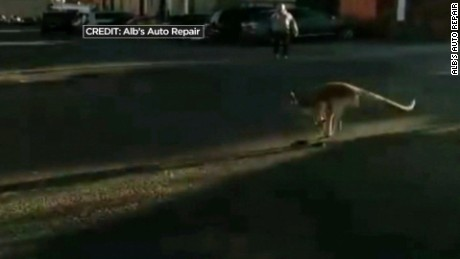kangaroo on the loose staten island pkg_00001829.jpg