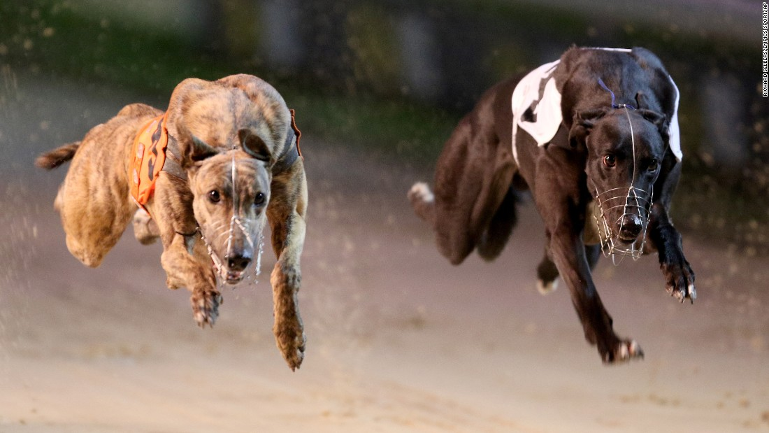 Greyhounds race in Newcastle upon Tyne, England, on Thursday, October 15.