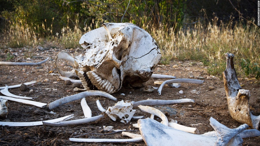 It can take days for a task force to find an elephant carcass as the reserves are vast. <br />A broken-up elephant skeleton minus its tusks is pictured in Kora National Park, Kenya in January 2013.