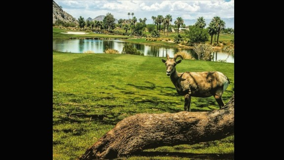 While some golfers in certain parts of the world have been scared off course by alligators, @rmuggs found a far less scary intruder on his round. The big horn sheep even took the time to pose and smile for the camera.