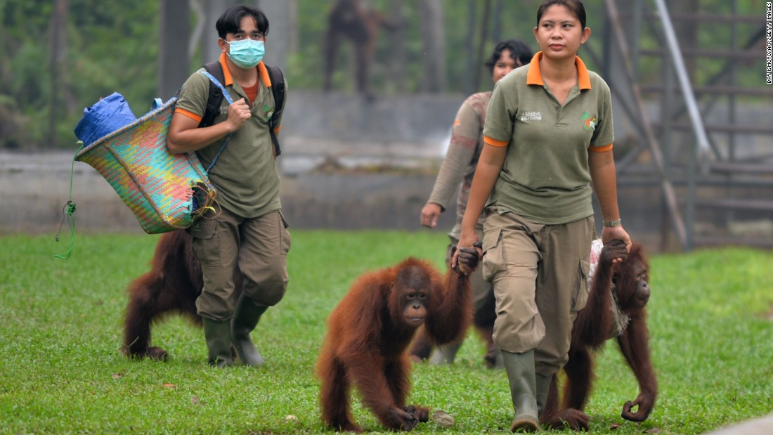 Workers and orangutans arrive at a rehabilitation center operated by the Borneo Orangutan Survival Foundation on the outskirts of Palangkaraya on October 26, 2015. Endangered orangutans are falling victim to the haze crisis that has left them sick, malnourished and severely traumatized as fires rage through Indonesia's forests and reduce their habitat to a charred wasteland.