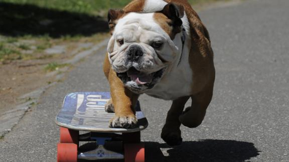 Tillman the English bulldog gets in some practice as he skateboards in Central Park in April 2010.