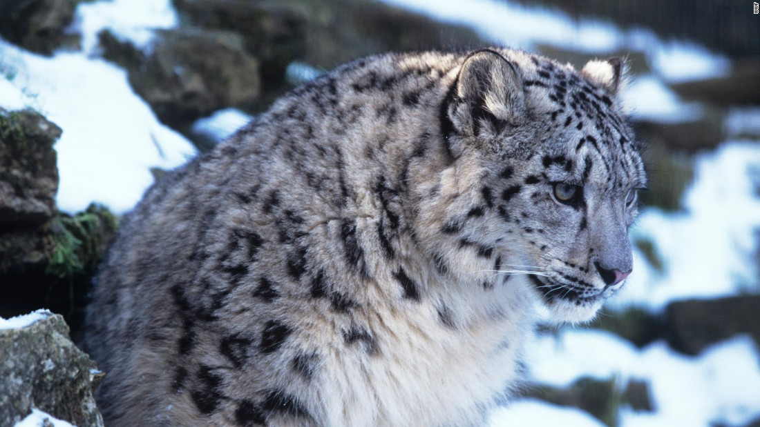 A warming planet paints a gloomy forecast for snow leopards, a species already feeling the pinch of a rapidly changing world.