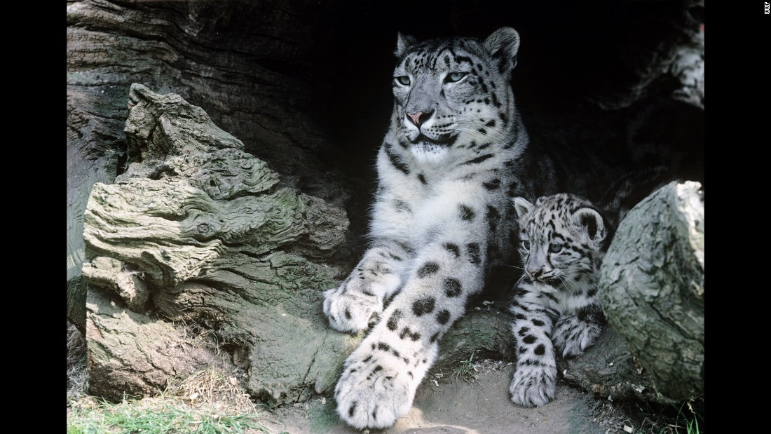 "<a href=""http://thirdpolegeolab.org/"" target=""_blank"">Recent analysis</a> by the World Wildlife Fund suggests significant portions of snow leopards' habitat in the Himalayas could be rendered unsuitable as a result of climate change."