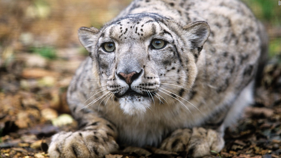"<a href=""http://www.iucnredlist.org/details/22732/0"" target=""_blank"">As of today</a>, there may be as few as 4,000 snow leopards remaining, and perhaps fewer than 2,500 breeding adults. And this number is falling."