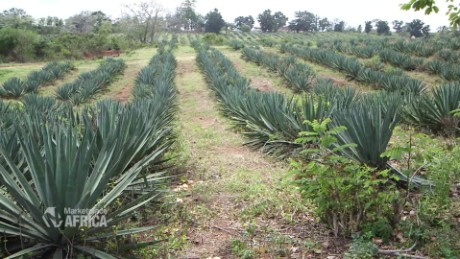 sisal the most useful plant you ve never heard of cnn
