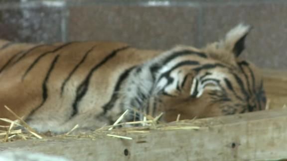 tiger bites woman nebraska zoo pkg_00005601.jpg