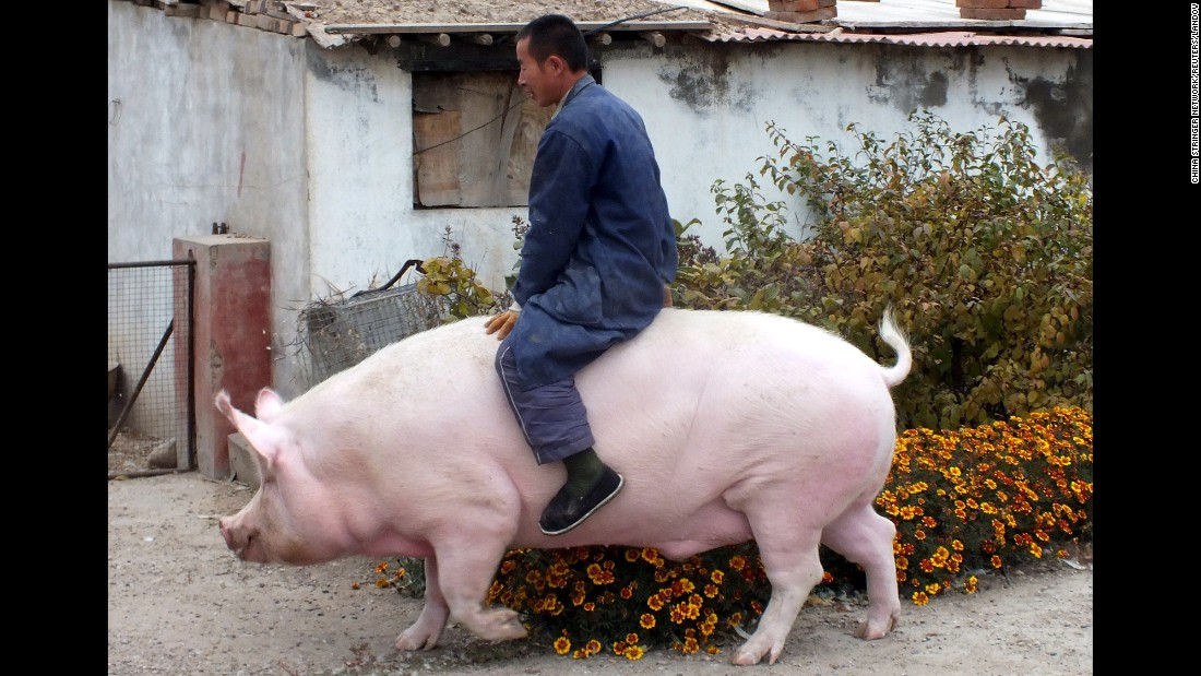 Farmer Zhang Xianping rides his pet pig, Big Precious, in Zhangjiakou, China, on Monday, November 2. Zhang, a pig breeder, decided to keep the 2-year-old swine when its weight reached 600 kilograms (1,323 pounds).