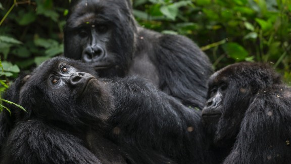 Virunga National Park is home to mountain gorillas, pictured there in August 2013.