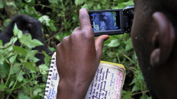 A park ranger uses a camcorder to film an adult gorilla while conducting a gorilla population census, on the slopes of Mount Mikeno. There are 220 documented gorillas living in Virunga. A new census count on gorilla numbers within the park is due to begin this year.