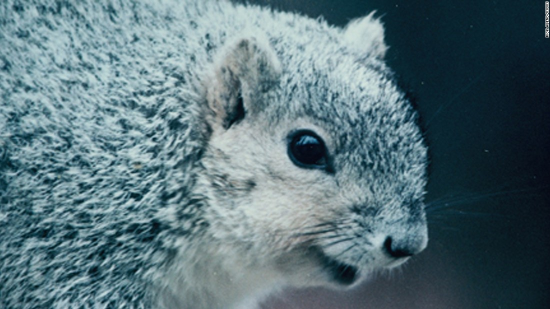 Thanks to conservation efforts by states, landowners and others, the <strong>Delmarva Peninsula fox squirrel</strong> -- native to Mid-Atlantic states -- is no longer at risk of extinction. One of the animals included on the first list of endangered species nearly a half-century ago, the squirrel was set to be removed from the list in December 2015, the U.S. Department of the Interior said.