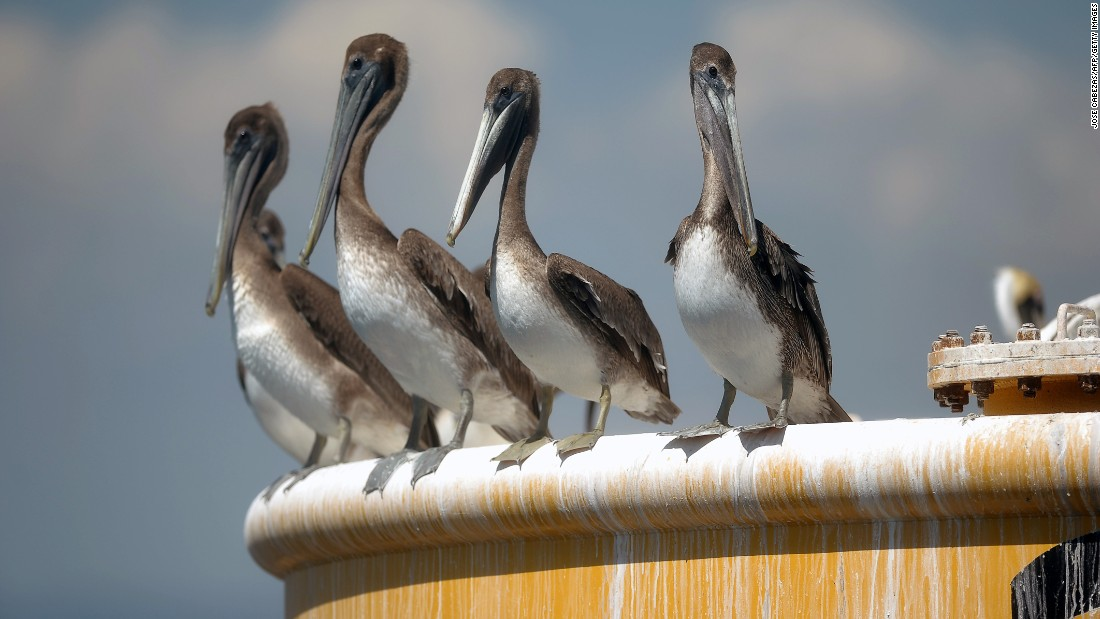 Adult <strong>brown pelican</strong>, found in the coastal Atlantic and the Gulf of Mexico, can reach up to 8 pounds and have wingspans of over 7 feet. The birds were listed as endangered in 1970 but taken off the list in 2009.