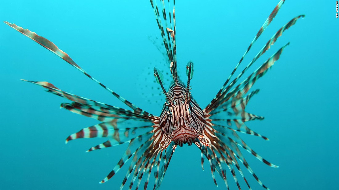 Lionfish have swarmed the U.S. East Coast, wiping out local species. The good news is, they taste great in sushi form.