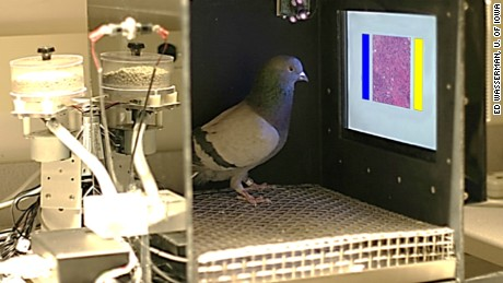 Pigeons were trained to read samples of breast tissue to look for cancer.