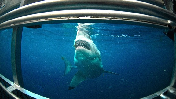 It's the stuff of nightmares for some, but encounters with the white shark can be as exhilarating as they are terrifying. Cage-diving expeditions for the brave are operated around the  Neptune Islands -- a series of uninhabited islets 30 kilometers southeast of Cape Catastrophe in South Australia frequented by the sharks.