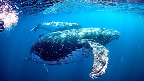 The swimmers on a humpback whale tour can hold on a line about 100 meters away from the marine creature. It's then up to the whales to come over and say hello. Humpback whale tour operator Sunreef says so far all its tours have successfully spotted whales but only half of them got to swim with one.