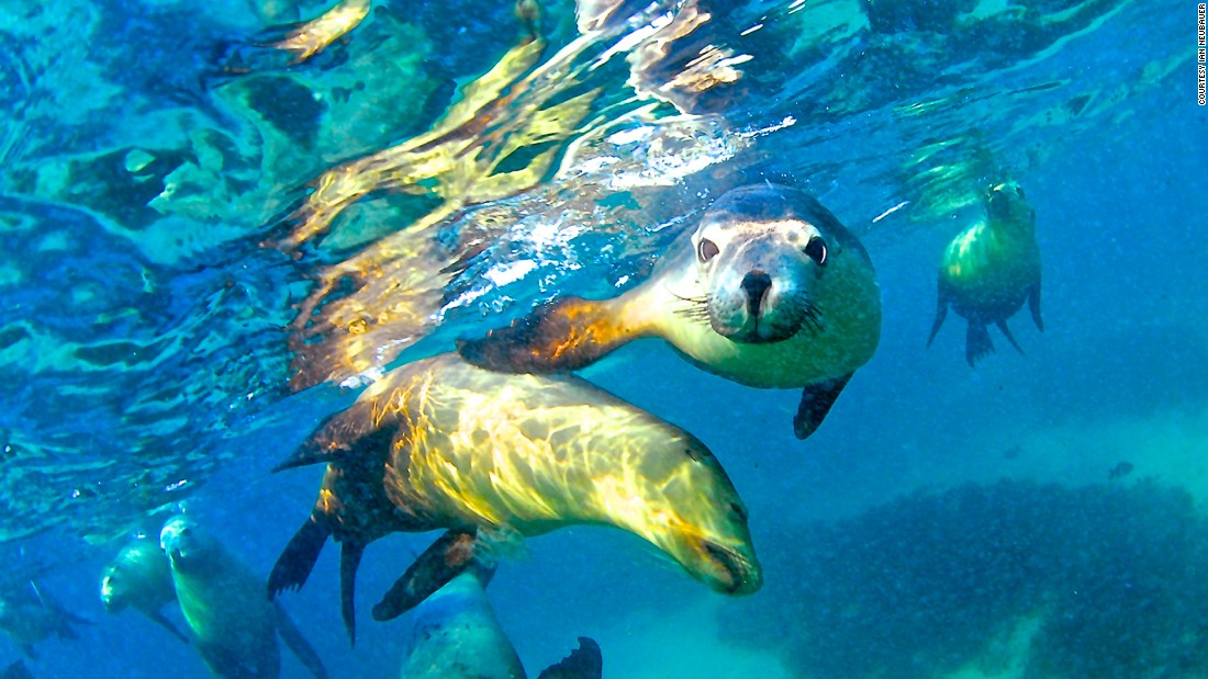 The largest remaining colonies of Australian sea lions are found on the islands of South Australia. Among them, Hopkins Island is the the most accessible destination to see the adorable mammal.