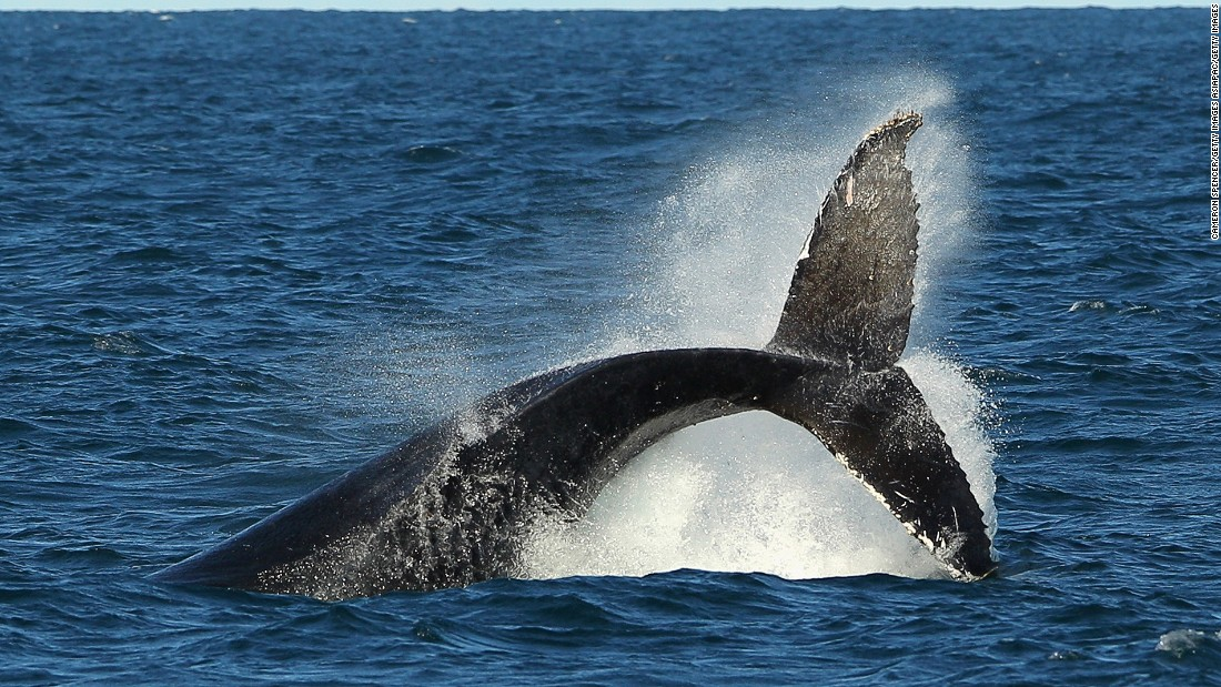 Thanks to a successful wildlife recovery program, the number of humpback whales has increased in recent years. Humpback sighting is a popular activity in the southern waters like Australia. The species migrate to the north from June and return to the south in November.