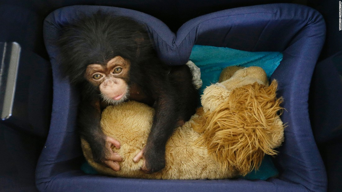 A baby chimpanzee named Jason sits in his sleeping box Friday, November 13, at the Attica Zoological Park in Spata, Greece. Jason is being tended to by zoo staff members because his mother fell sick and has been unable to feed him.