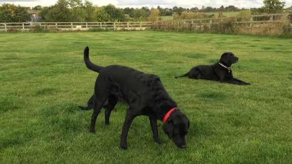 Karry, who is one-quarter curly-coated retriever and three-quarters Labrador, was too excitable to be a medical assistance dog for diabetics, so all that energy is now focused on problem solving. She