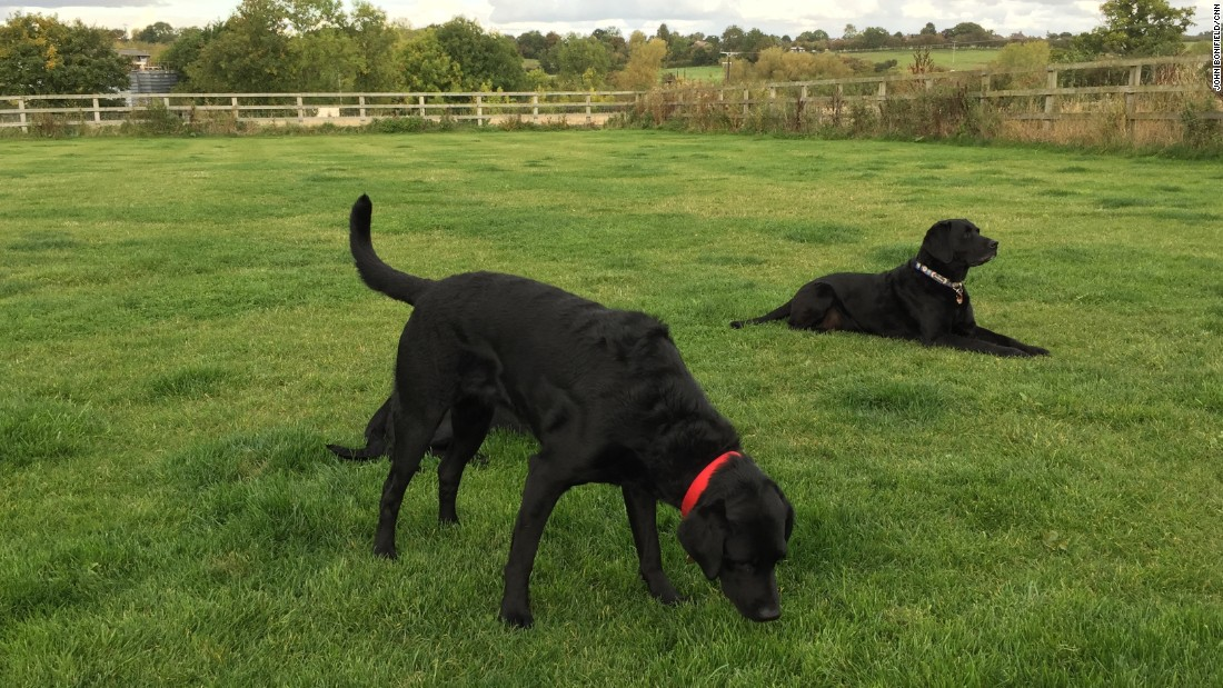 Karry, who is one-quarter curly-coated retriever and three-quarters Labrador, was too excitable to be a medical assistance dog for diabetics, so all that energy is now focused on problem solving. She's learning to sniff out prostate cancer.