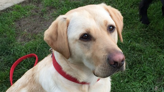 Kiwi, a yellow Labrador, is a former guide dog. She