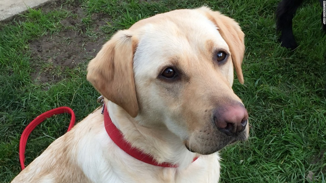 Kiwi, a yellow Labrador, is a former guide dog. She's a fantastic problem solver.  Any dog has a powerful sense of smell, but hunting dogs like Kiwi are more easily trained.