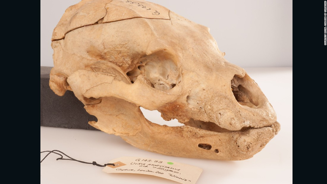 "The skull of the bear which inspired children's books ""Winnie-the-Pooh,"" has gone on public display for the first time, at the Royal College of Surgeon's Hunterian Museum, in London."