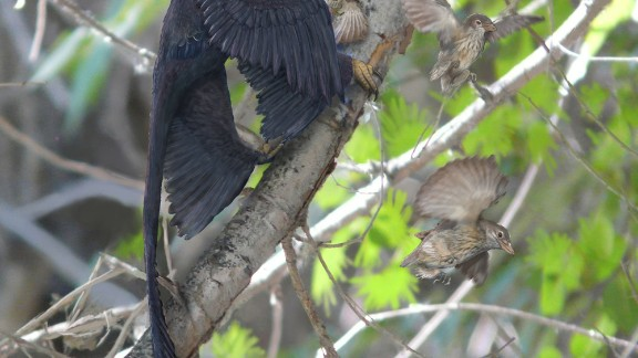 Xu announced the discovery of the four-winged microraptor in 2003 although scientists believe it glided rather than flew -- shedding light on how birds