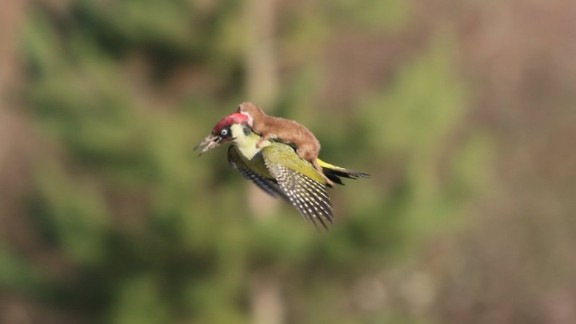 """March 2: A weasel hitches a lift on the back of a woodpecker near London. The image, credited to amateur photographer Martin Le-May, went viral on Twitter after it was posted by photographer Jason Ward. Le-May told British television channel ITV that he had been walking with his wife in Hornchurch Country Park when they heard """"a distressed squawking"""" noise and spotted the woodpecker. """"Just after I switched from my binoculars to my camera, the bird flew across us and slightly in our direction; suddenly it was obvious it had a small mammal on its back and this was a struggle for life,"""" Le-May said. Eventually, Le-May told ITV, the weasel lost its grip and the bird flew away."""