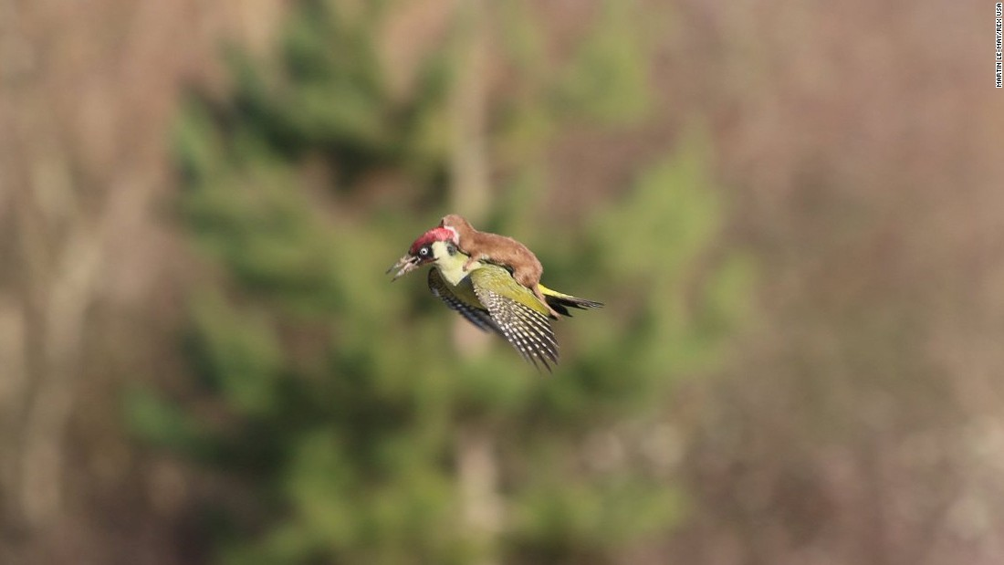 "<strong>March 2:</strong> A weasel hitches a lift on the back of a woodpecker near London. The image, credited to amateur photographer Martin Le-May, <a href=""http://www.cnn.com/2015/03/03/europe/uk-woodpecker-weasel/index.html"" target=""_blank"">went viral on Twitter</a> after it was posted by photographer Jason Ward. Le-May told British television channel ITV that he had been walking with his wife in Hornchurch Country Park when they heard ""a distressed squawking"" noise and spotted the woodpecker. ""Just after I switched from my binoculars to my camera, the bird flew across us and slightly in our direction; suddenly it was obvious it had a small mammal on its back and this was a struggle for life,"" Le-May said. Eventually, Le-May told ITV, the weasel lost its grip and the bird flew away."