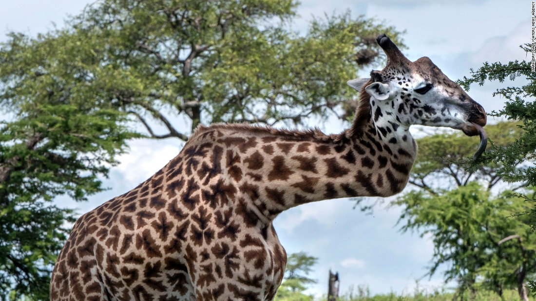 <strong>May 4:</strong> A giraffe with a broken neck is photographed during a safari in the Serengeti region of Africa. A guide told South African photographer Mark Drysdale  that the giraffe hurt his neck fighting with another giraffe. Despite the injury, the animal has survived for at least five years.