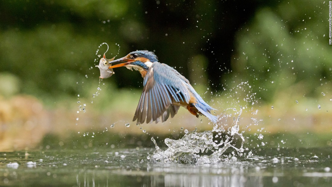 <strong>May 10:</strong> A common kingfisher plucks a fish in the English county of Suffolk.