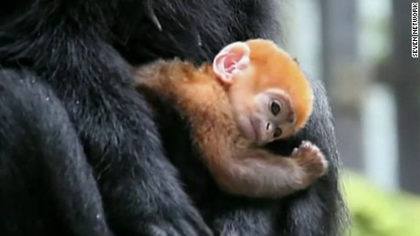 rare orange baby monkey langur sydney australia taronga zoo pkg _00000601
