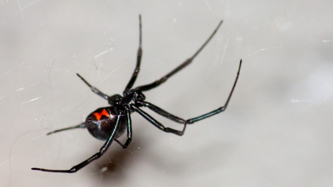 What does a black widow spider look like