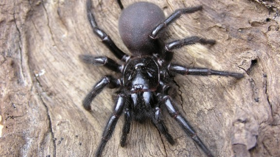 The Sydney funnel-web spider, generally found in Australia, also gives a painful bite. The funnel-web spider's venom, which attacks the central nervous system, has caused the deaths of more than a dozen people over the past 100 years.