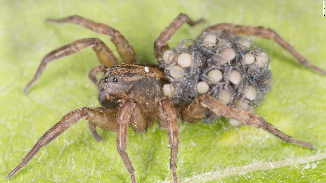 Where do wolf spiders live