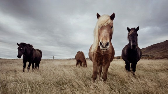 As early as the 10th century, in an attempt to ward off degeneration of stock brought about by crossbreeding, a ban on importing horses into Iceland was introduced -- a law that still stands today -- meaning the Icelandic horse has been pure bred for over 1,000 years. And just as no horse can be imported into Iceland from foreign shores, any Icelandic horse to depart the country is also forbidden to ever return.