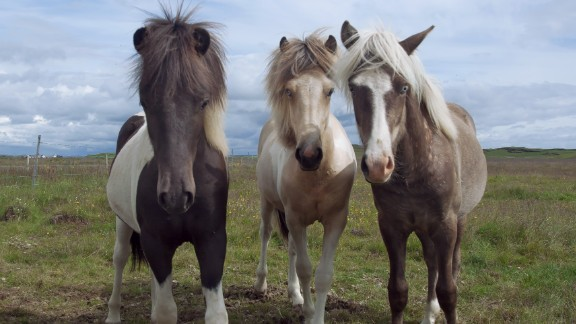 But attending an Icelandic horse show is more than just attending a sporting event. The action on the track being just one part of a weekend that sees spectators pitch up tents and park their caravans, while their own Icelandic horses mingle with others in the surrounding fields.