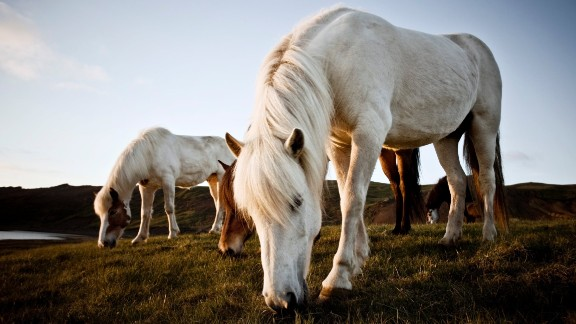 The Icelandic horse breed is one of a kind. And the same can be said about Icelandic horse sporting competition. Based around their two additional gaits, events include examinations in tolt, as well as execution of four and five gait, while races in pace are also staged. Competitions take place around Europe, with a FEIF World Championships being staged every two years.