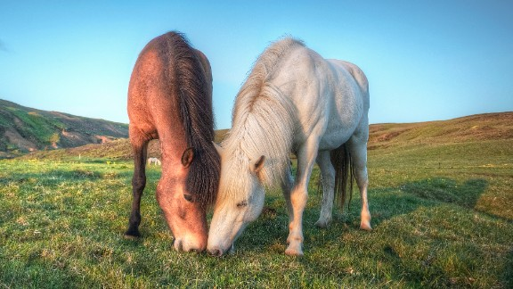 """""""FEIF's vision is to bring people together in their passion for the Icelandic horse -- not to bring the horses together, but to bring people and their passions together,"""" Mazeland adds. """"The Icelandic horse helps to represent a vision, culture and lifestyle."""""""