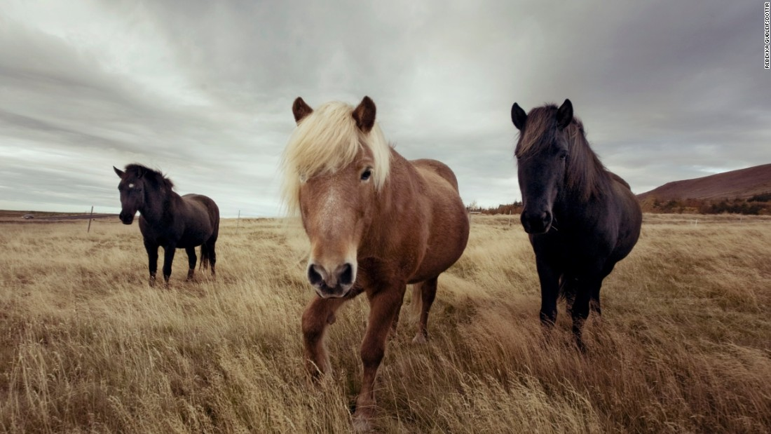 """The Icelandic horse has a lot of widespread appeal in Europe and outside Iceland too, so clearly there's something about them that appeals to people other than just us Icelanders,"" Guðleifsdóttir says. ""They're wonderful creatures. It's just a great experience to be around them."""