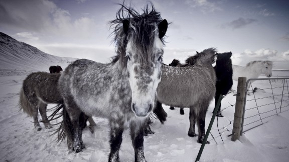 """""""They're just really beautiful creatures and being around them, they are so calm and friendly,"""" Icelandic photographer Rebekka Guðleifsdóttir tells CNN. """"They're everywhere when you drive around in Iceland, and I couldn't really not take pictures of them because they really are a beautiful and easily accessible subject."""""""