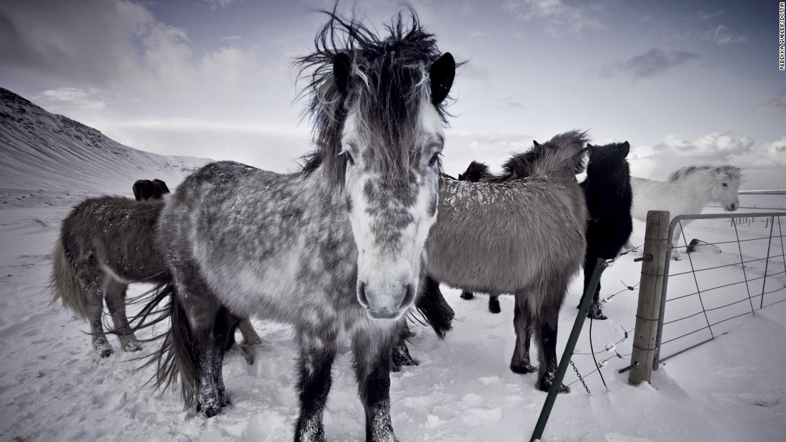 """They're just really beautiful creatures and being around them, they are so calm and friendly,"" <a href=""http://www.rebekkagudleifs.com/"" target=""_blank"">Icelandic photographer Rebekka Guðleifsdóttir</a> tells CNN. ""They're everywhere when you drive around in Iceland, and I couldn't really not take pictures of them because they really are a beautiful and easily accessible subject."""