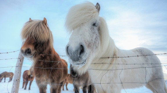 Said to give off the impression of courage and power when being ridden, the Icelandic horse is distinctive for its thick and plentiful mane and tail. While boasting a finer coat in the summer, a longer, thicker coat with three distinct layers is grown to help protect them from Iceland's biting cold winter months.