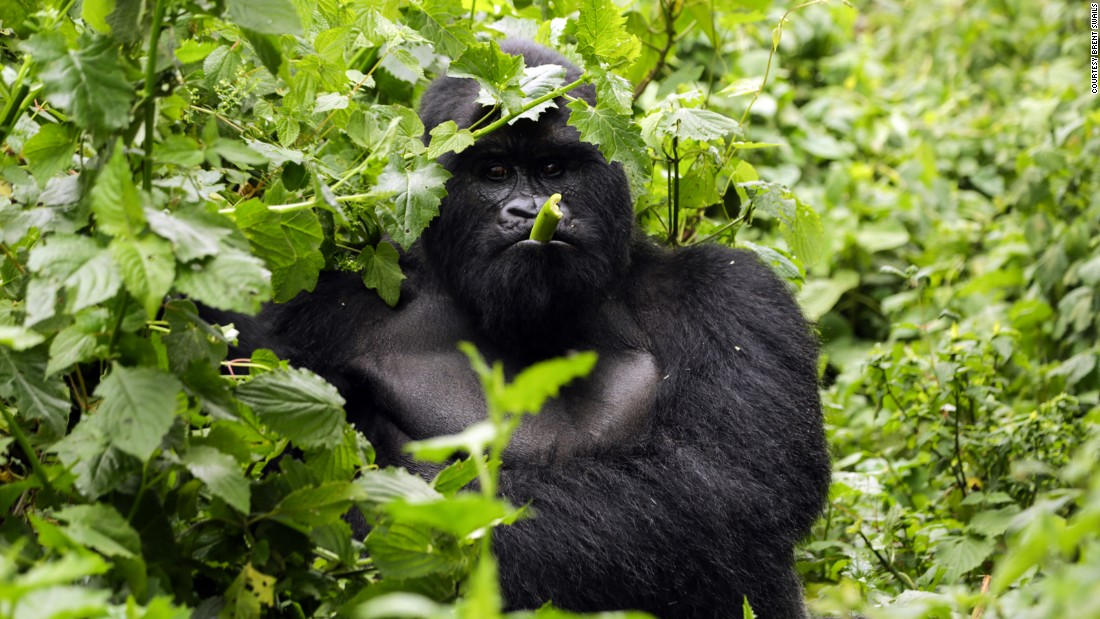 Virunga, the crown jewel of Congo's eco-tourism trade, is an area of extraordinary biodiversity and an important habitat for mountain gorillas. Bukima (pictured here) is a silverback, adopted by his current troop after poachers killed four gorillas including the dominate male.