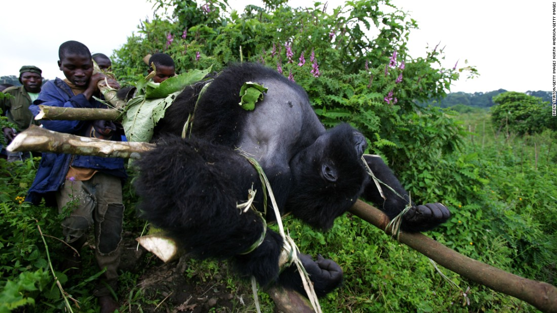 In 2007, four gorillas were targeted, executed at point blank range inside Virunga. One of the three female gorillas killed was pregnant. Their lifeless bodies, including the troop's magnificent 500-pound silverback, were strapped to bamboo poles and carried down the mountain to be buried.